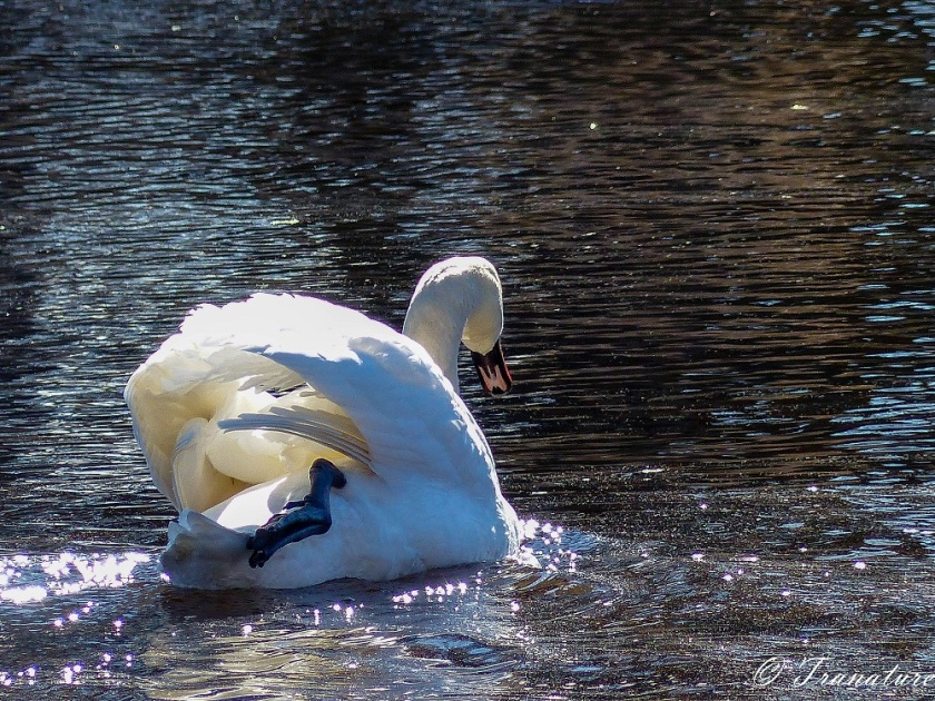 swan paddling the river with his left leg and resting his right leg on his back