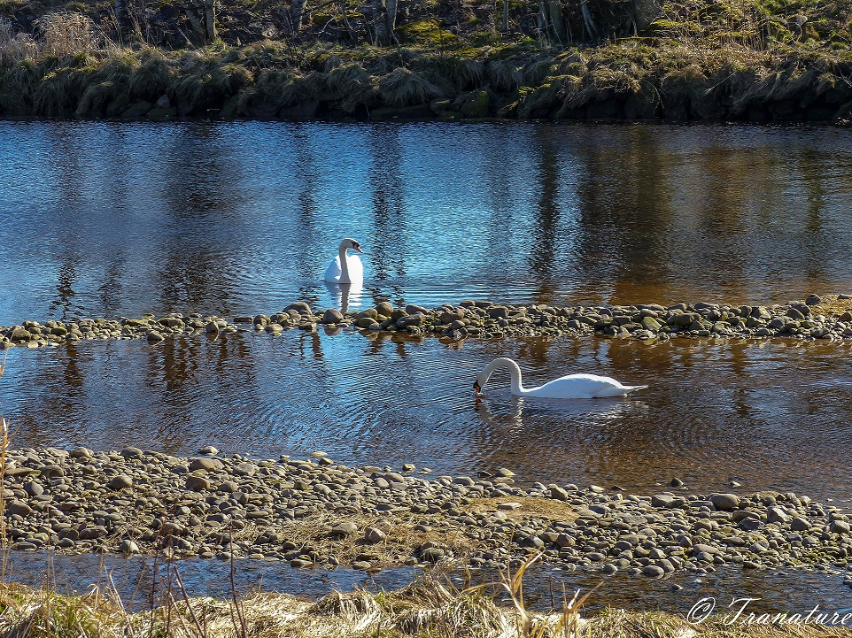 two swans in tidal river