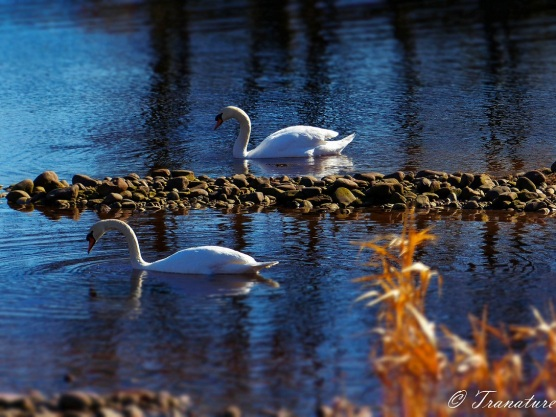 two swans on the river in morning light