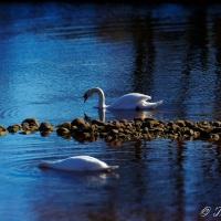 WPC Awakening - River Swans