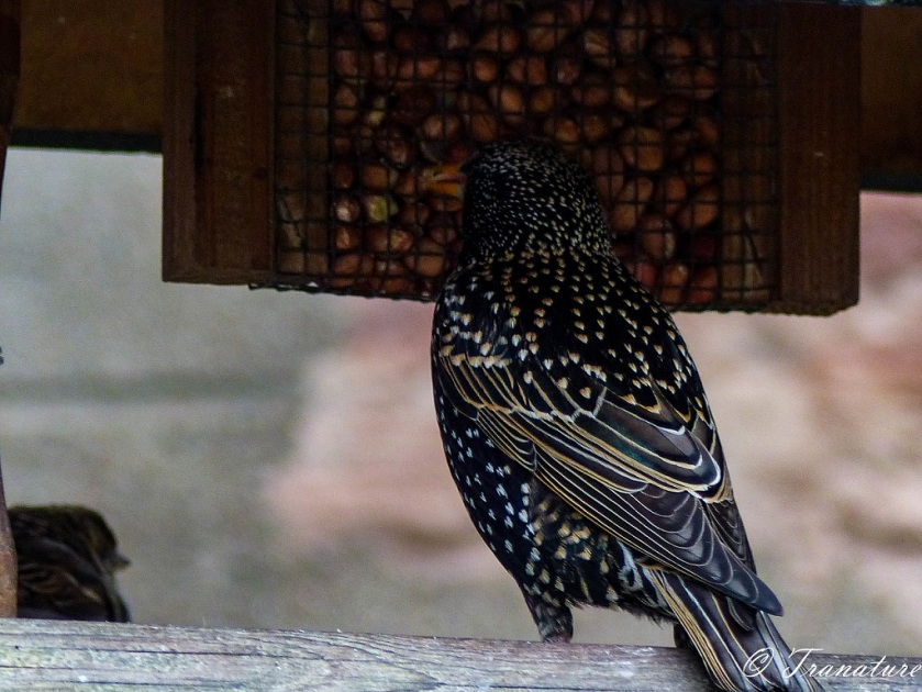 starling eating peanuts from a birdfeeder