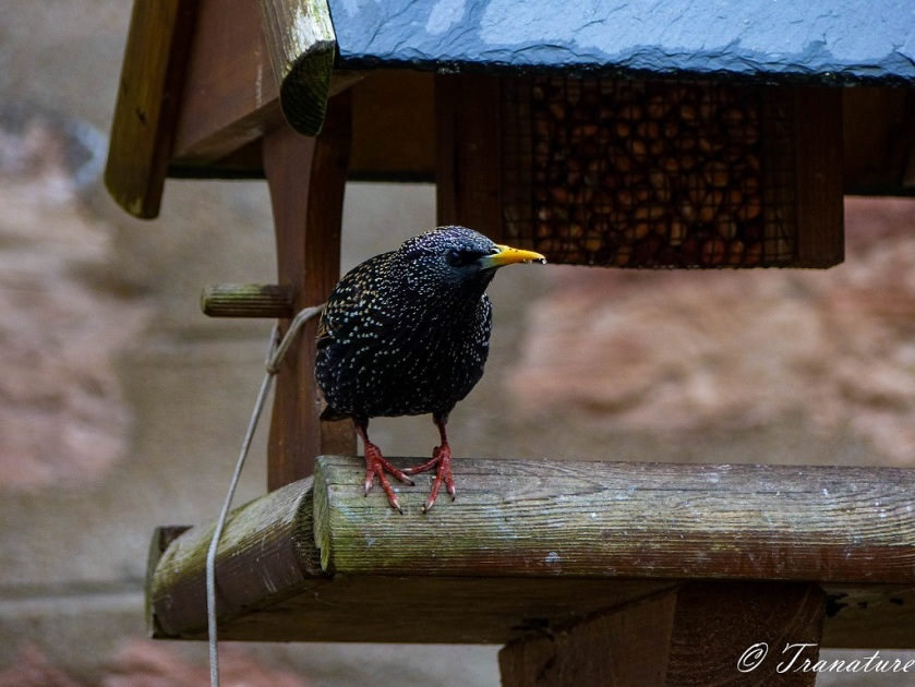 starling on the ledge of a wooden birdfeeder looking at the camera