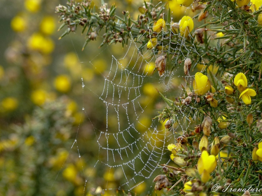 spider's web in blooming gorse, covered in pearls of dew