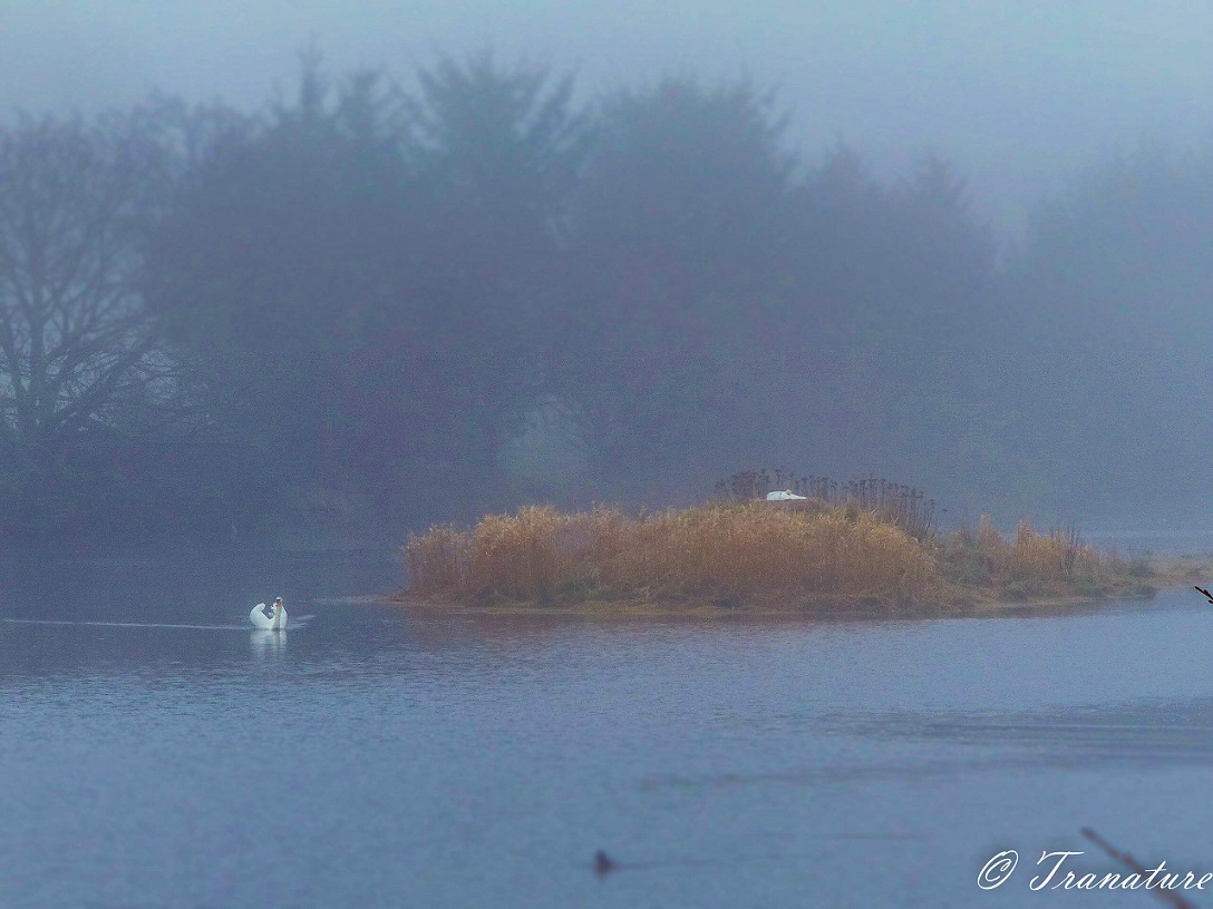 swan (pen) on her nest in the mist on the river with cob guarding the nest from the water