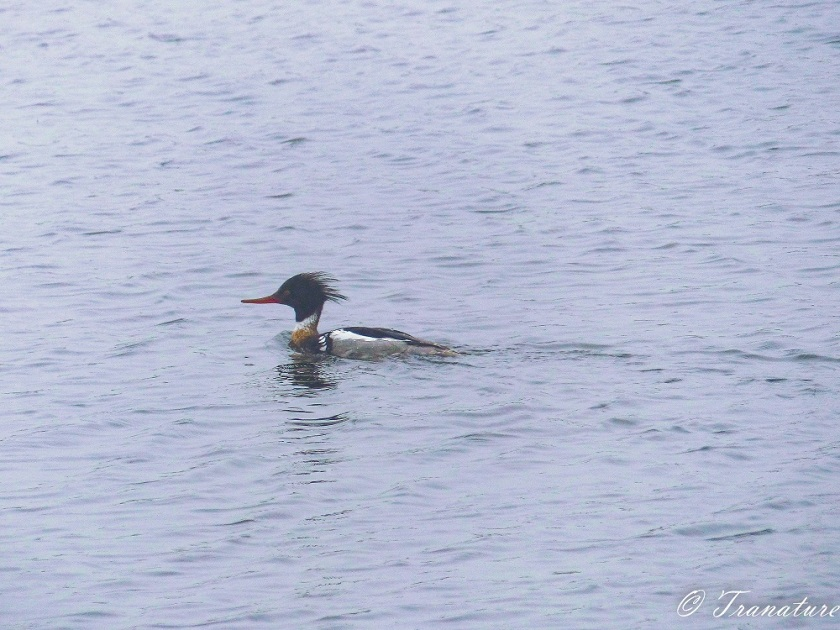 red breasted merganser swimming through the mist on the river