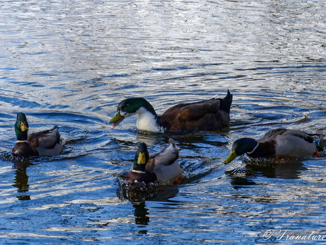four male mallard ducks swimming through a pond