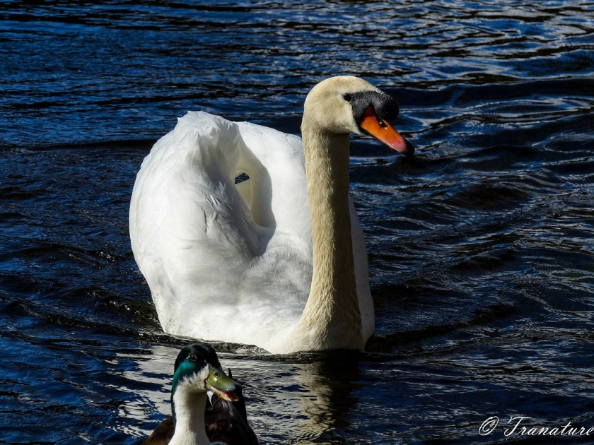 a duck 'photobombing' a swan in the centre of the image with a big smile