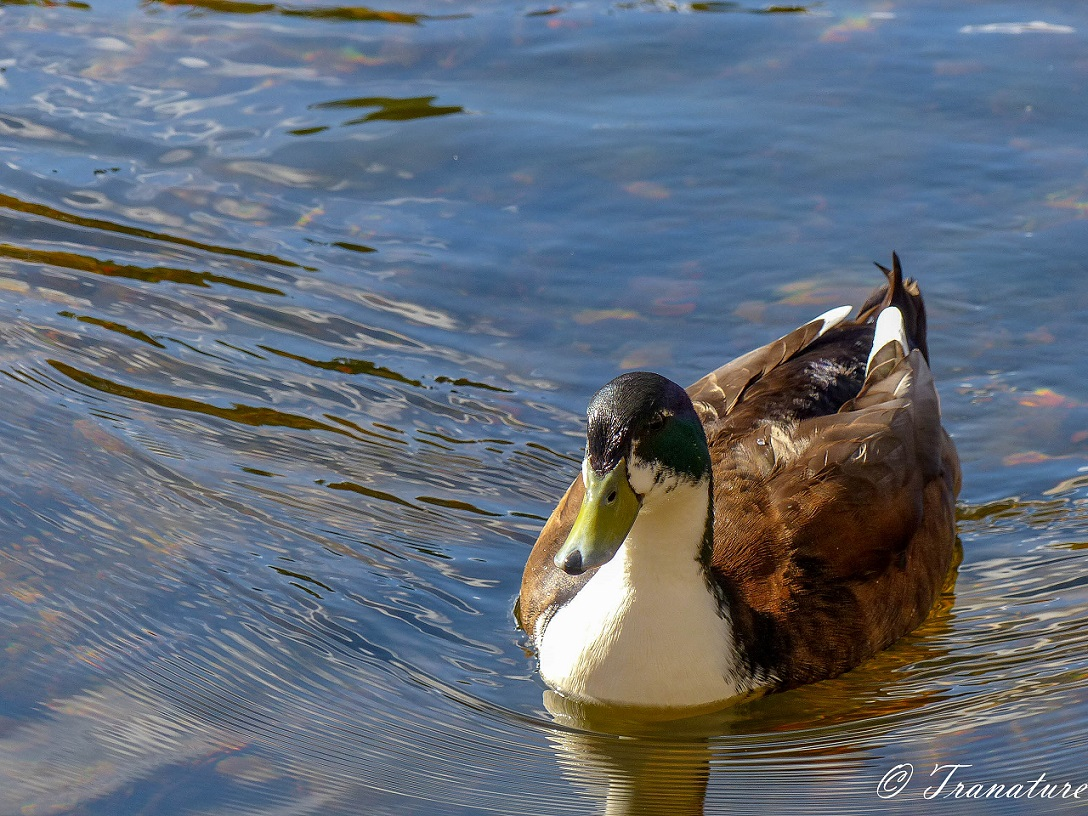 a brown and white duck with dark green head smiling at the camera
