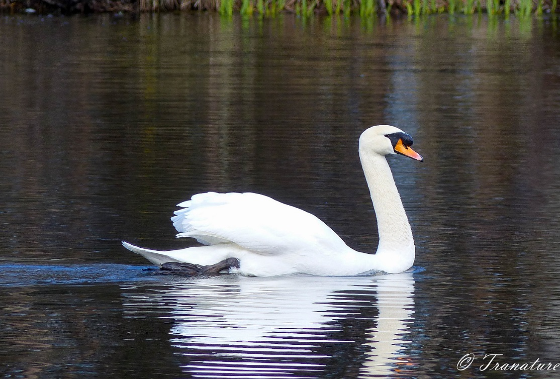mute swan (cob) swimming in a natural pond
