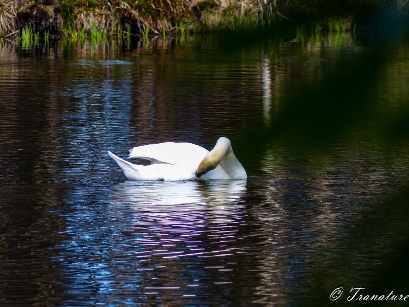 swan prooning himself on a quiet pond in spring