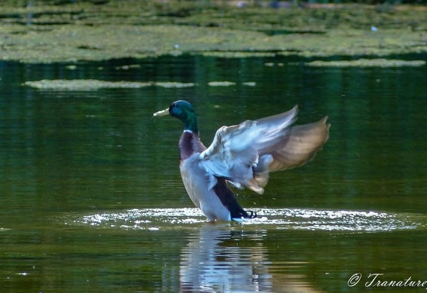 male mallard duck bathing in a pond