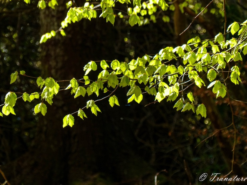 young leaves in the foreground, lit up by the sun