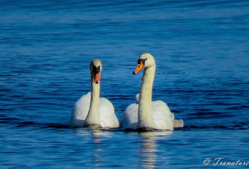 pair of swans with cygnets in tow and on the pen's back