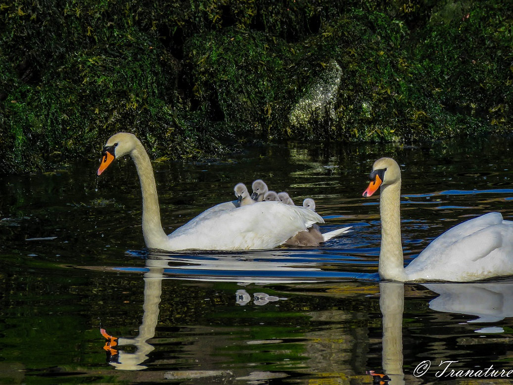 a pair of swans in the river with five cygnets on the pen's back