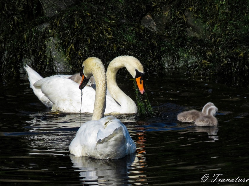 a swan pair (cob and pen) and two cygnets eating seaweed