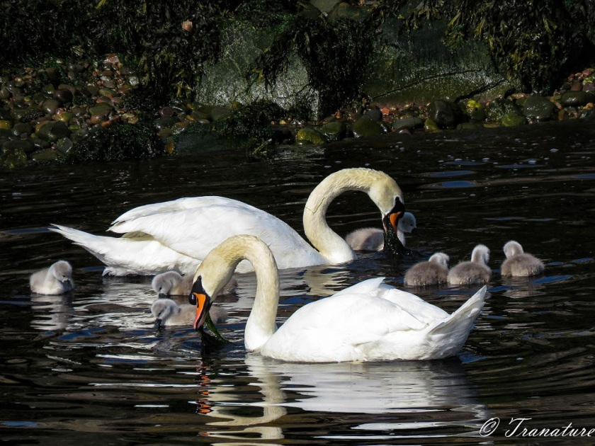 a swan pair (cob and pen) and seven cygnets eating seaweed