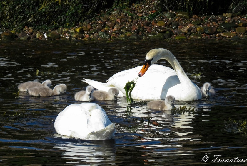 a swan pair (cob and pen) and six cygnets eating seaweed