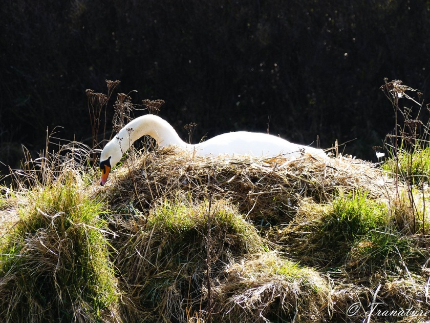 a pen (female swan) sprucing up her nest in the river