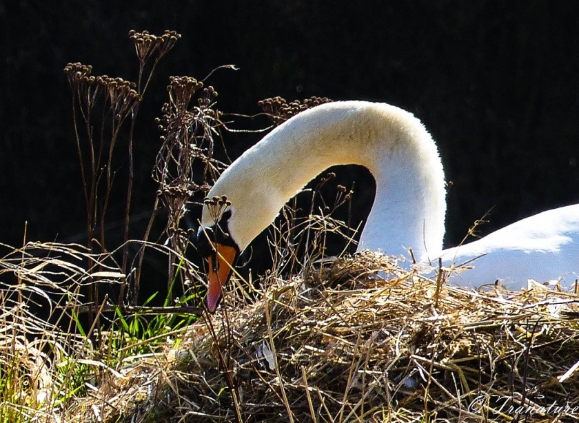 a close-up of a pen (female swan) sprucing up her nest in the river