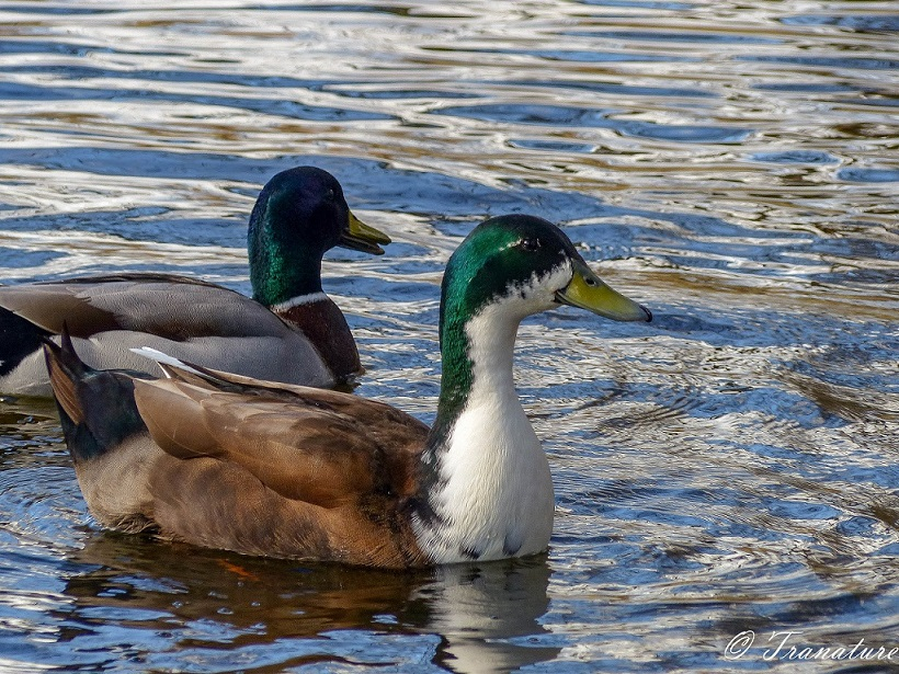 two male mallard ducks swimming in a pond