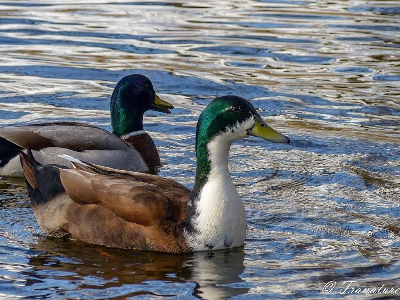 two male mallard ducks swimming in a pond
