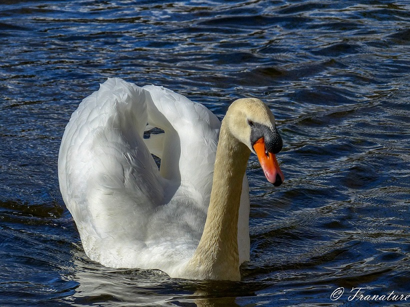 friendly swan (cob) swimming in a pond towards the camera