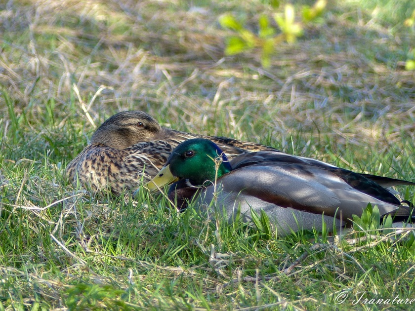 a male and female mallard duck resting under a bush
