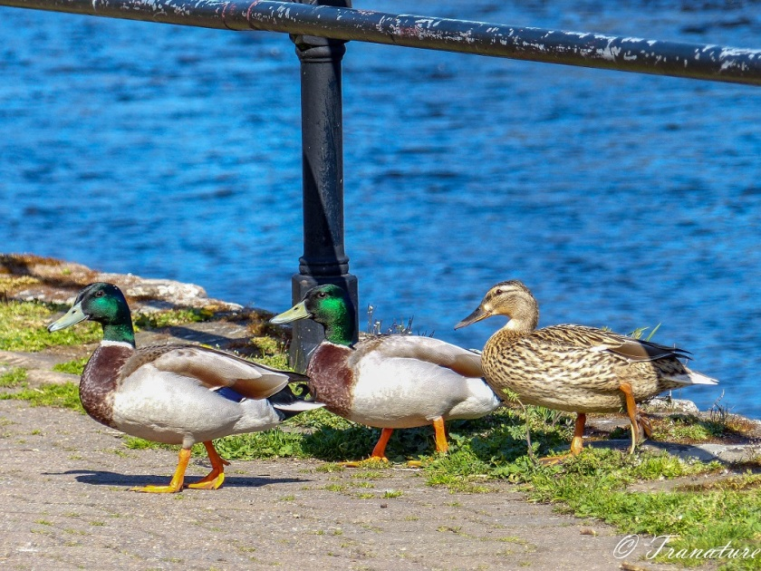 two male ducks and one female duck walking on river path