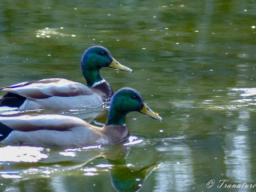 two male mallards swimming in a woodland pond