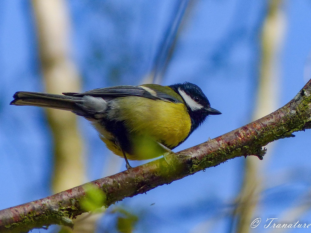 male bird (great tit) sitting on a branch with green buds