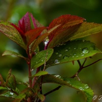 Haiku: Spring Rain