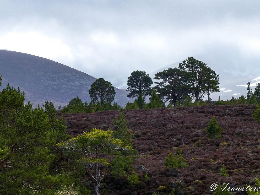 Spring pine and heather and view to Lairig Ghru