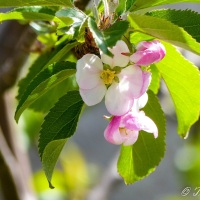 Haiku: Apple Blossom