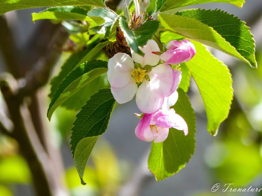 apple blossom and green leaves in morning sun
