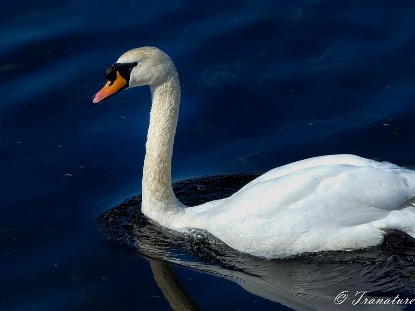 a swan (cob) patrolling the river