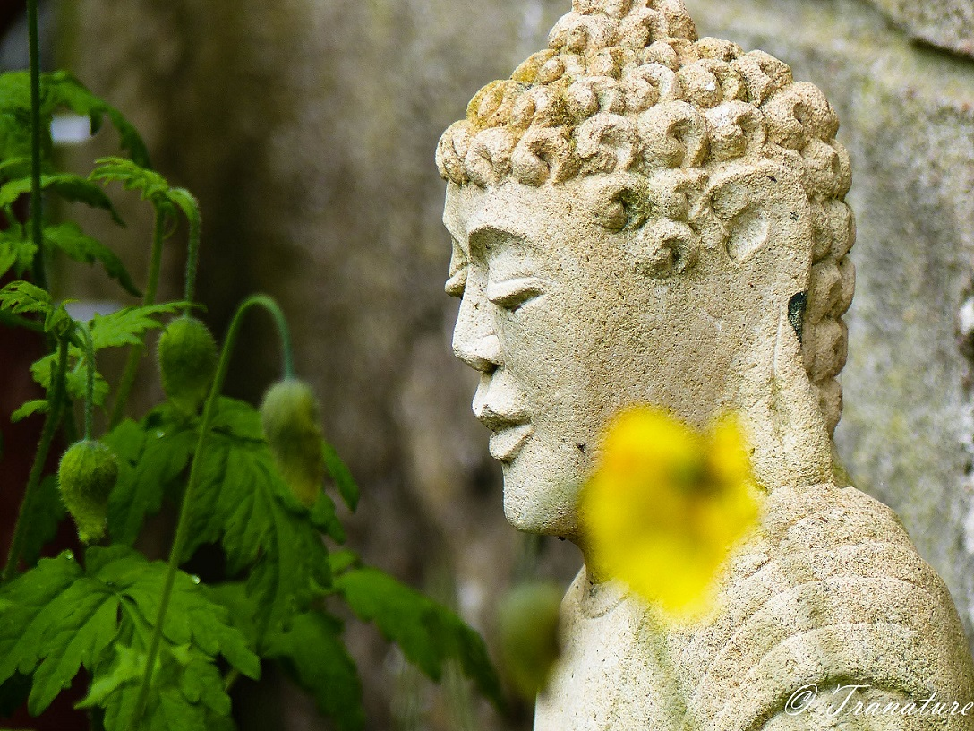 welsh poppy, one in flower, others in bud, beside a garden Buddha