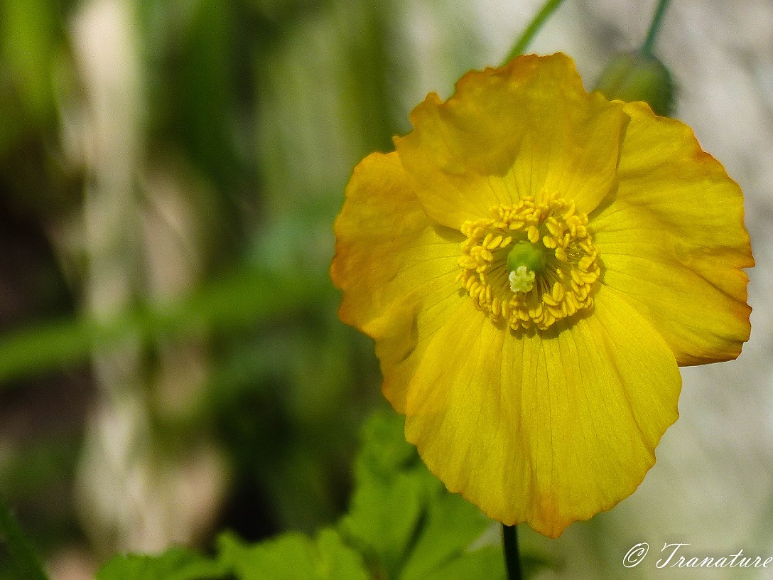welsh poppy in bloom