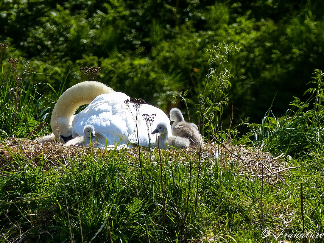 pen on her nest with three cygnets