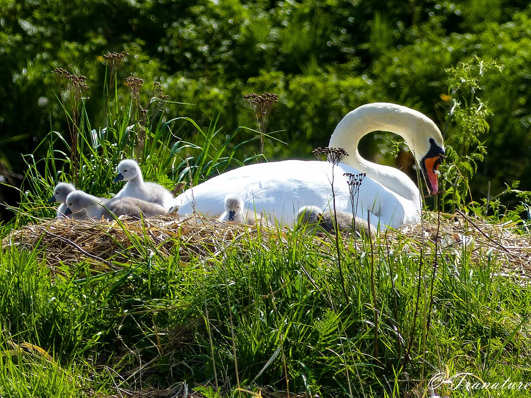pen on her nest with five cygnets