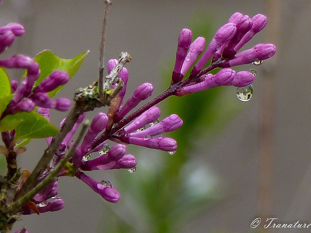close up of miniature pink lilac buds with raindrops