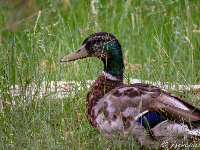 a male mallard duck in the grass