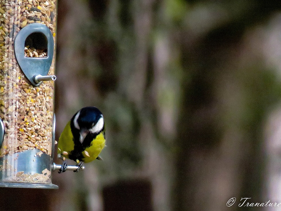 a great tit at a birdfeeder with seeds flying out