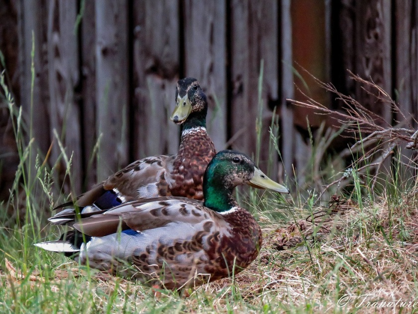 close up of two male mallard ducks in the shade of a pine tree