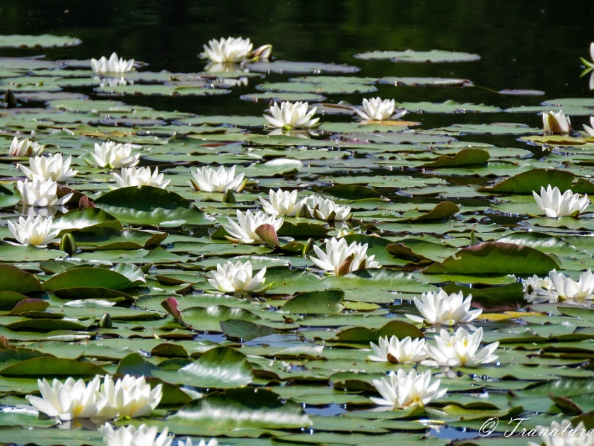 waterlilies in full bloom on the loch