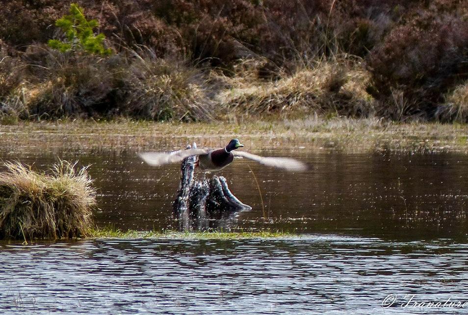male mallard duck taking off from small island in the loch