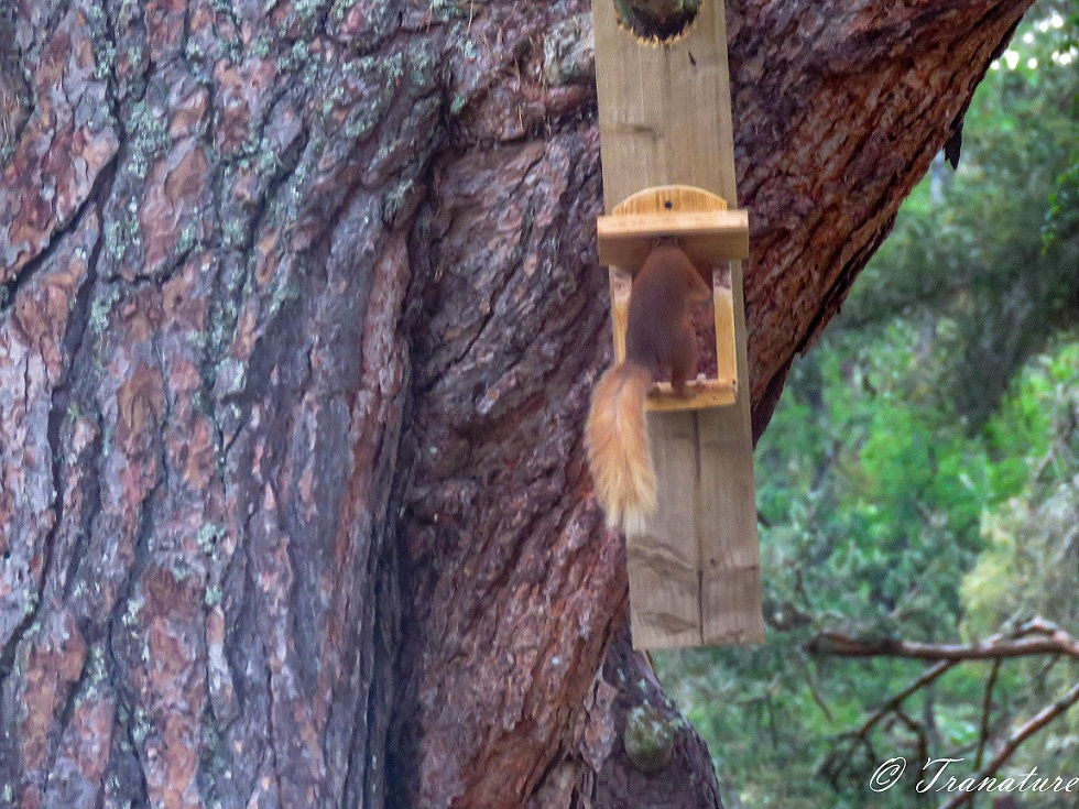 red squirrel lifting the lid of a squirrel feeder with his head