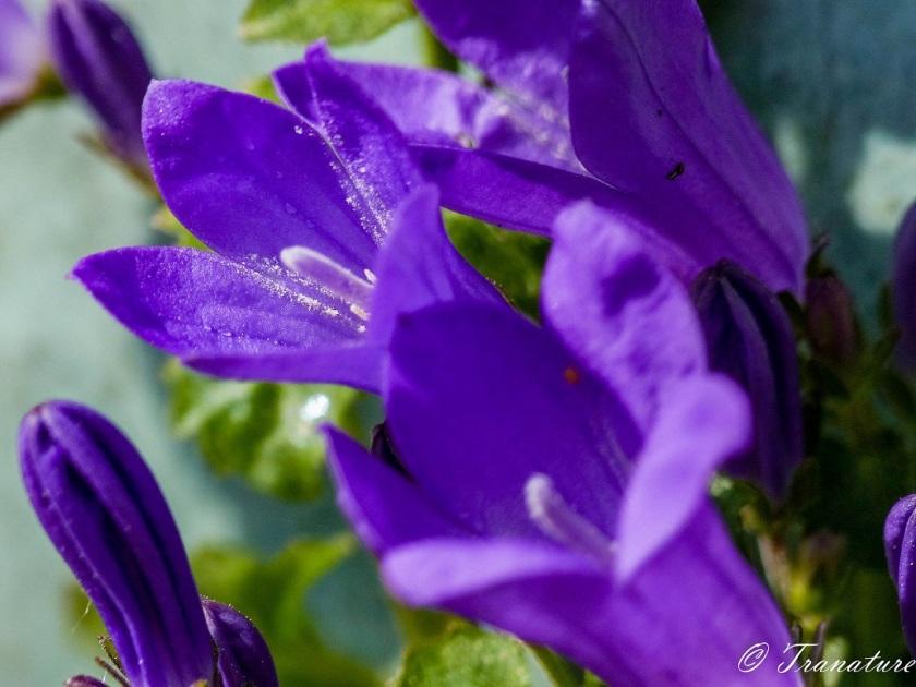 purple bellflowers in the sunshine