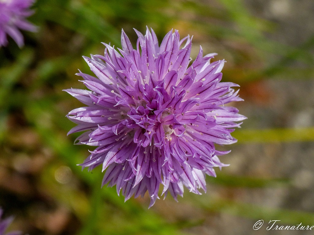 chive blossom photographed from above the flower