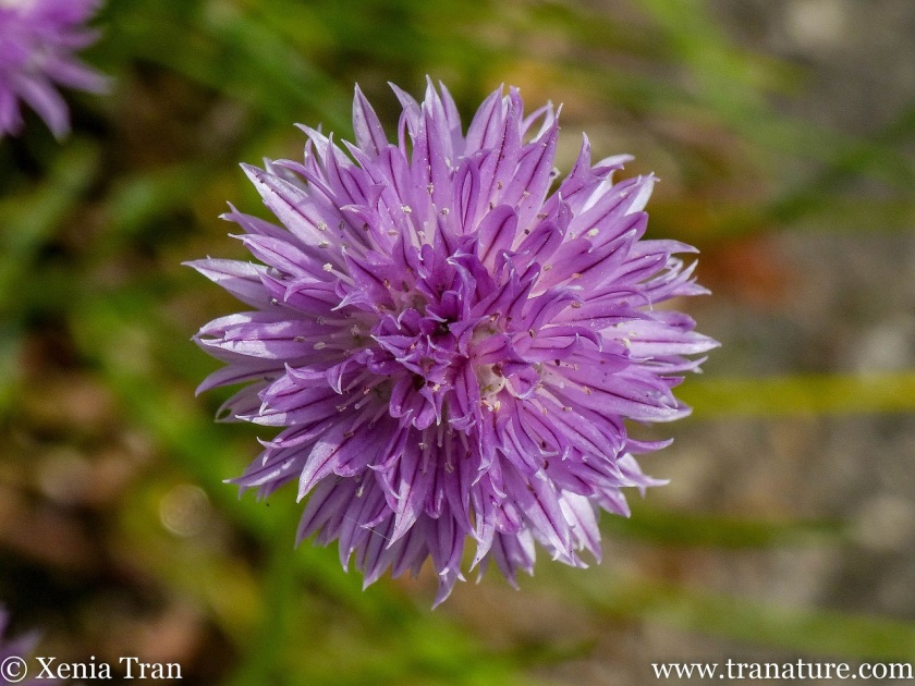 close up shot of a chive blossom