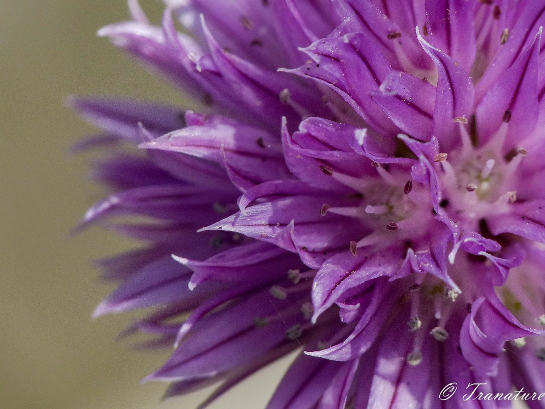 macro of chive blossom, close up of left half of the flower
